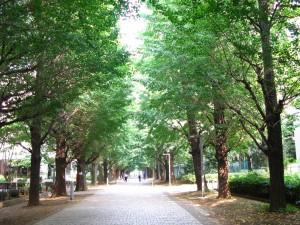 Allée de ginkgos à Todai (campus de Komaba)